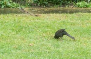 Vogel sucht nach Larven im Rasen