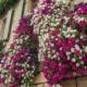 Blumenerde, balkon, sommerblumen, surfina