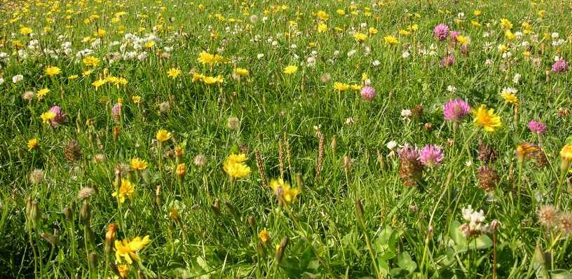 Eine Blumenwiese ist ökologisch wertvoll.