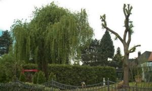 Radikalschnitt am Baum