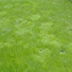 Straußgras-Flecken