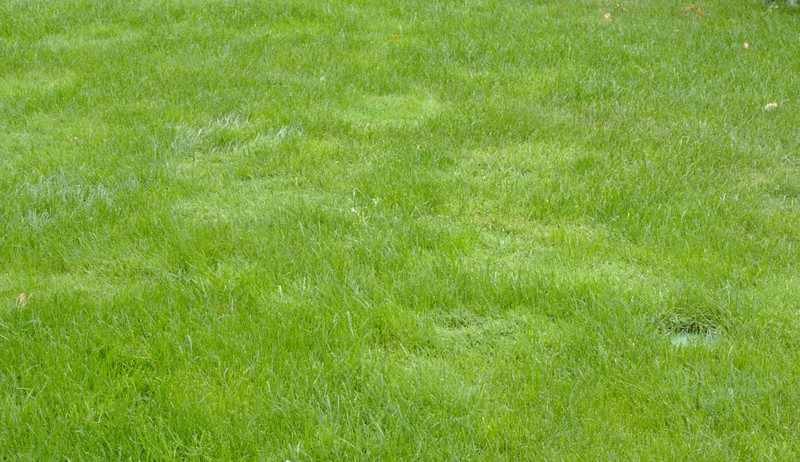 Fremdgräser im Rasen