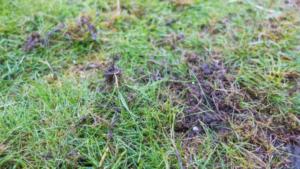 Amseln suchen nach Larven im Rasen