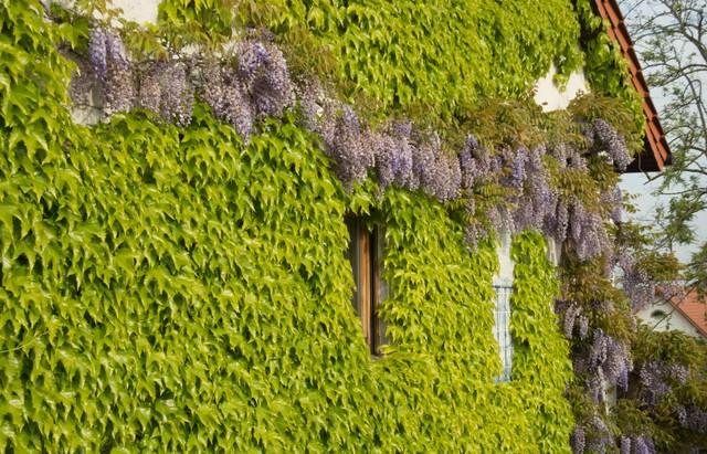 Kletterpflanzen zur Fassadenbegrünung