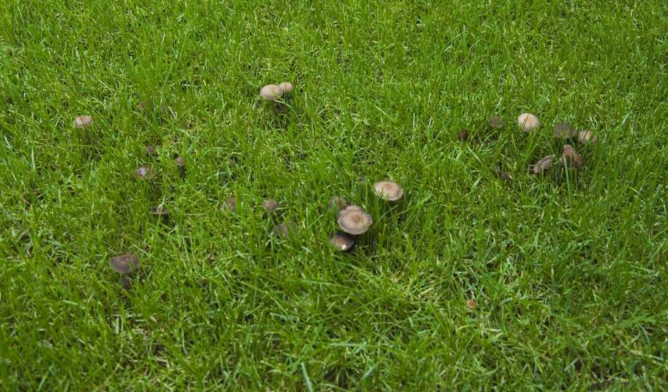 Pilzkrankheiten im Rasen