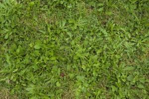 (Un-)kraut im Rasen