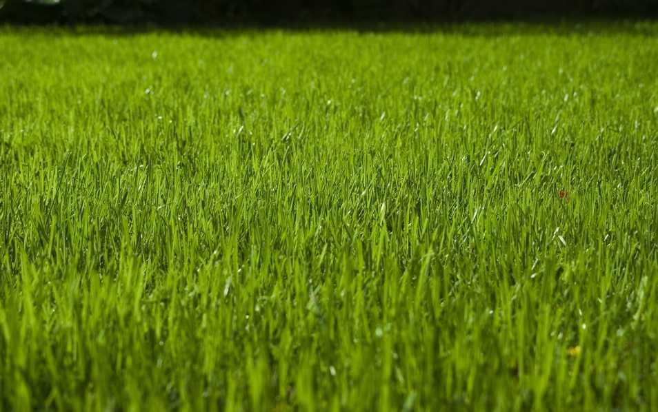 Rasen säen oder Rollrasen?