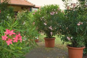 Oleander auf Terrasse