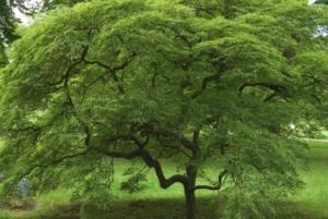 Kleinkronige Laubbäume bis 10m Höhe